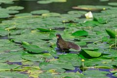 Gallinula Chloropus, Common moorhen cleans its own feathers on the leaves of water lily. Photo was taken in `Planten un Blomen` city garden in Hamburg, Germany royalty free stock images