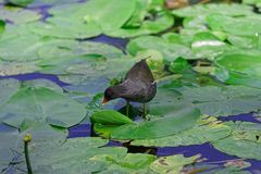 Gallinula Chloropus - common moorhen walking over the leaves of water lily. And looking for a food. Photo was taken in `Planten un Blomen` city garden in stock image