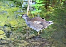 Gallinula chloropus in lake. Shot of Gallinula chloropus bird in lake Stock Images