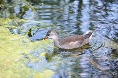 Gallinula chloropus in lake. Shot of Gallinula chloropus bird in lake Royalty Free Stock Images