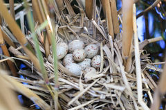 Gallinula chloropus, Moorhen. Nest of a bird with eggs in the nature Stock Photography