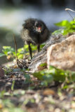 Gallinula Chloropus. Tiny Cute Black Young Baby Bird stock image