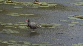 Gallinula galeata, bird of the Rallidae family very common in several r stock video