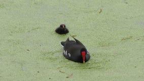 Gallinule común alimenta su polluelo metrajes