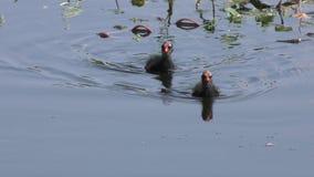 Gallinule común con los polluelos almacen de metraje de vídeo