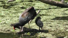 Gallinule común con su polluelo en la Florida metrajes