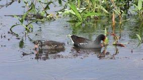 Gallinule commun alimente son poussin dans un étang banque de vidéos