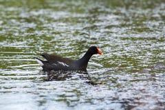 Gallinule comune nordamericano che galleggia nel profilo in lago con il gambo della pianta in becco fotografia stock