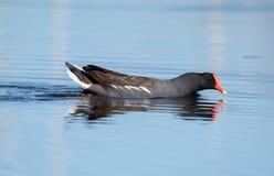 Gallinule nageant sur un lac image stock