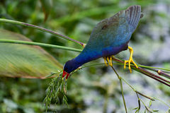 Gallinule pourpre Photos libres de droits