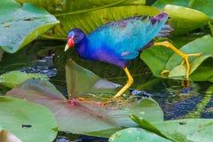 Gallinule púrpura Imagen de archivo