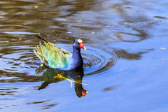 Gallinule roxo Fotos de Stock