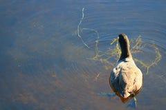 Gallinule roxo americano Imagens de Stock