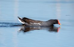 Gallinule swimming on a lake stock image