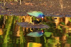 Gallinules pourpre images stock
