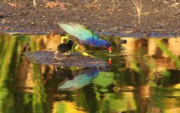 Gallinules pourpre photographie stock