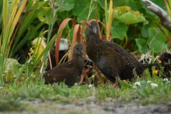 Gallirallus australis - Weka adult with young bird in New Zealand Southern Island.  stock photography