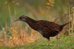 Gallirallus australis - Weka in New Zealand Stock Photo