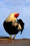 Gallo 0906 di Arucauna Fotografia Stock Libera da Diritti