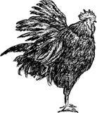 Gallo Imágenes de archivo libres de regalías