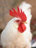 gallo   immagini stock libere da diritti