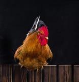 Gallo Fotografie Stock
