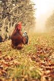 Gallo al aire libre Fotos de archivo libres de regalías
