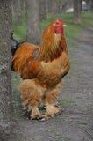 Gallo al aire libre Foto de archivo libre de regalías