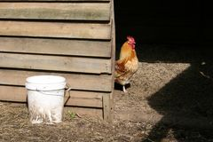 Gallo all'interno della casa di gallina Fotografie Stock