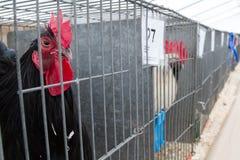Gallo alla manifestazione agricola Fotografia Stock Libera da Diritti