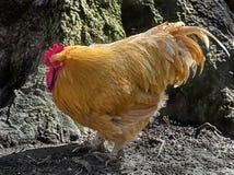Gallo anaranjado 3 foto de archivo