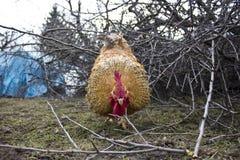 Gallo arrabbiato Fotografie Stock