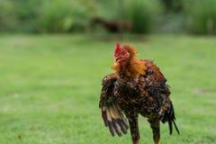 Gallo arrabbiato Fotografie Stock Libere da Diritti