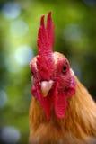 Gallo bello Immagini Stock Libere da Diritti