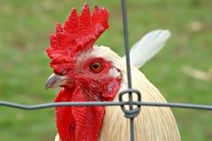 Gallo bianco fotografia stock libera da diritti