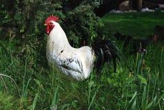 Gallo bianco Immagine Stock Libera da Diritti