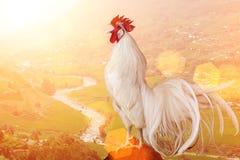 Gallo bianco fotografia stock