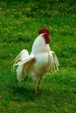Gallo blanco fotos de archivo libres de regalías
