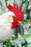 Gallo blanco imagen de archivo