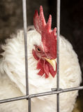 Gallo blanco detrás de las barras de metal de una jaula Fotografía de archivo