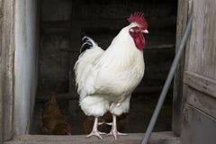 Gallo blanco en el gallinero Fotos de archivo libres de regalías