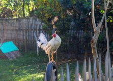 Gallo blanco en la cerca Gallo blanco en yarda soleada del pueblo Plumas hermosas del gallo Fotografía de archivo libre de regalías