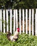 Gallo blanco encendido contra la cerca de madera cerca de la casa Yarda rural del verano con el gallo blanco nacional en hierba v Fotografía de archivo