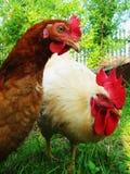 Gallo blanco y gallina marrón que caminan en la hierba verde imagen de archivo