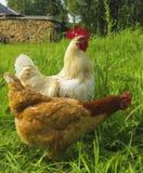 Gallo blanco y gallina marrón que caminan en la hierba verde foto de archivo libre de regalías