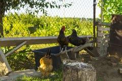 Gallo blanco y gallina negra Fotos de archivo libres de regalías