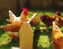 Gallo blanco y gallinas marrones que picotean la hierba del alimentador fotografía de archivo libre de regalías