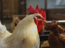 Gallo blanco y pollo marrón en la yarda imágenes de archivo libres de regalías