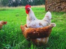 Gallo blanco y pollo marrón en un prado verde imagen de archivo libre de regalías