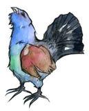 Gallo cedrone occidentale isolato su bianco Illustrazione di Stock